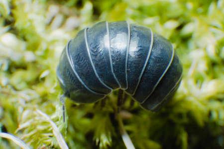 Pill Bug Armadillidium vulgare crawl on moss green background side view Reklamní fotografie - 122352288