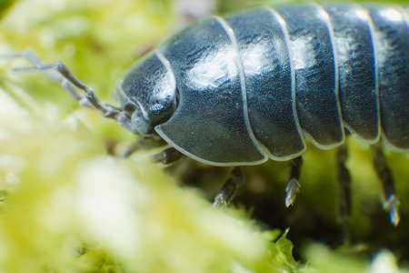 Pill Bug Armadillidium vulgare crawl on moss green background close up Reklamní fotografie