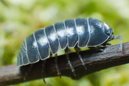 Pill Bug Armadillidium vulgare crawl on moss green background front view