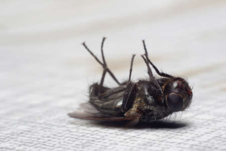 Dead fly lying on its back, isolated on white Stock Photo