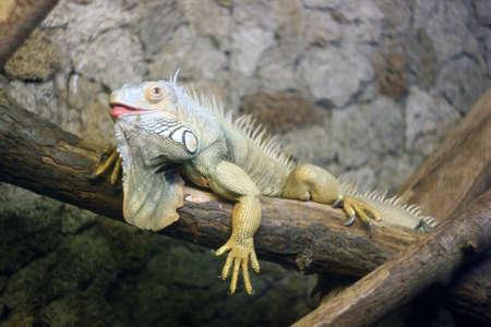 Iguana on a branch depth of field Reklamní fotografie - 122352308