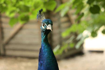 Head shot of beautiful peacock front view Reklamní fotografie - 122352310