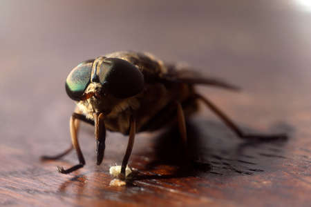 Fly on wood brown sruface - Extreme magnification Stock Photo