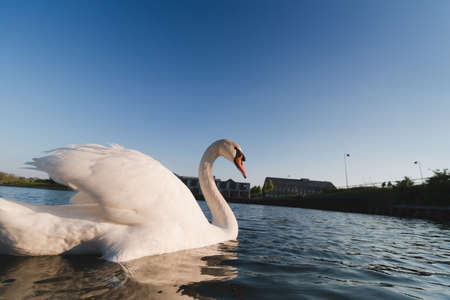 Swan in blue water wide angle lens, low angle shot Reklamní fotografie - 122352336