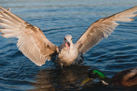 Seagull female attacking duck male duck blue water Reklamní fotografie