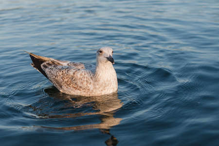 Seagull swims in blue water at sunset Imagens