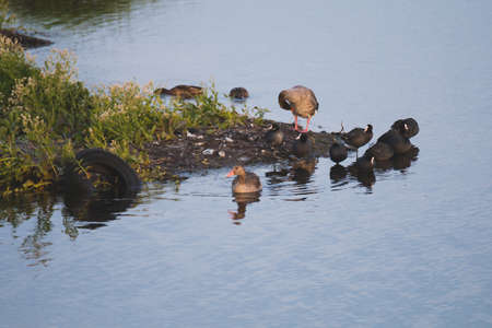 Gooses and Coots birds on side of cosat tire in water polution