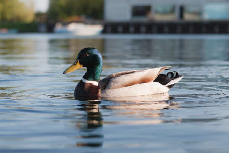 Duck swims in water Copenhagen at summer season