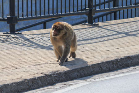 BARBARY MACAQUE walk in Gibraltar street, front view sunny day. Reklamní fotografie - 122352406