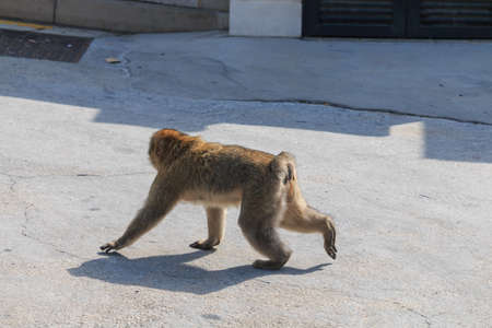 BARBARY MACAQUE walk in Gibraltar street, side view suny day. Reklamní fotografie - 122352407