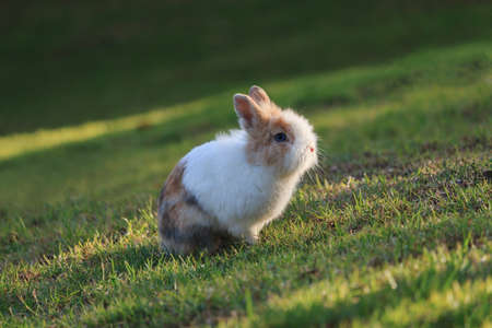 Cute Netherland Dwarf rabbit sitting on grass during a sunset at sumer time