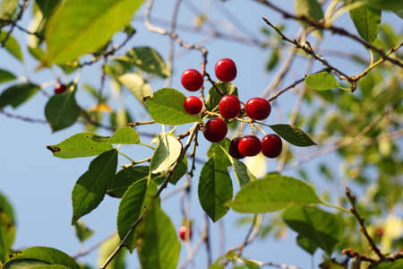 Cherries berries growing on a branch. View from the bottom, summer season Reklamní fotografie