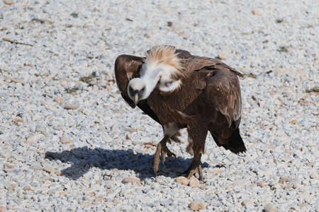 Griffon vulture walks on gravel. Big preditor bird sunshine
