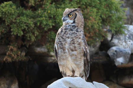 Great horned owl sitting on rock look to front Stock Photo