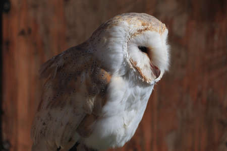 Eastern barn owl in brown orange wood background look to right Reklamní fotografie