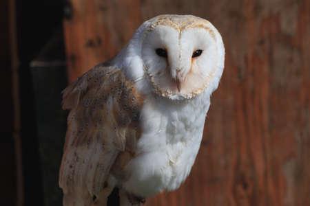 Eastern barn owl in brown orange wood background