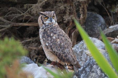 Great horned owl sitting on rock look backwards