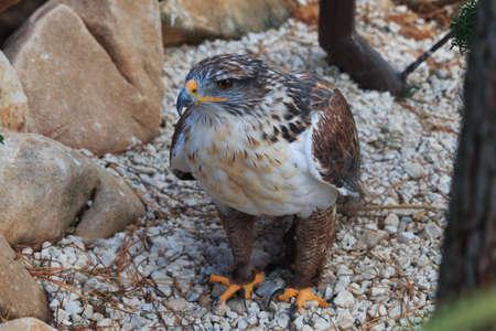 The Ferruginous hawk stands on gravel full body