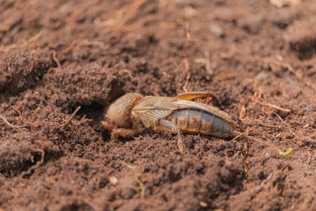 Harmful insect, an earthen agricultural pest. Gryllotalpa on the background of soil.