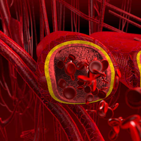 Blood arteries and veins cut section photo