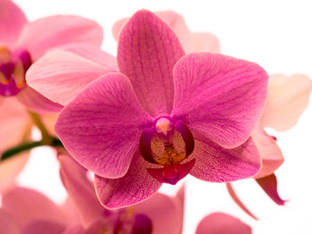 Orchid against unfocused white background Stock Photo