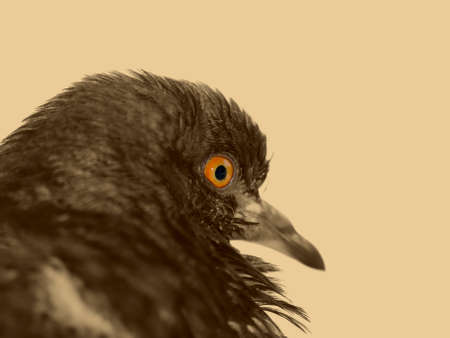 dangerously: Scarry black dove looking dangerously. Focus on the eye.