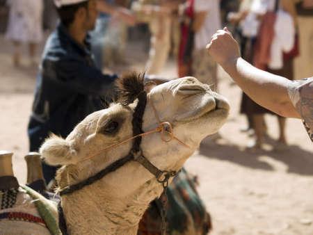 petra  jordan: Camel in Petra, Jordan