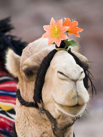 petra  jordan: Close up of camel with flower in Petra, Jordan