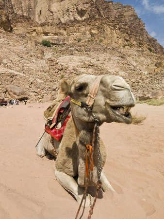 wadi: Camel in Jordan desert Wadi Rum - angry face Stock Photo