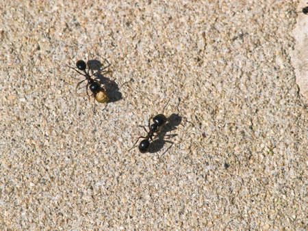 Two ants carrying seeds photo