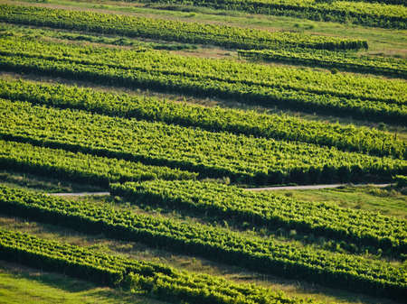vineyard plain: Green vineyards details in Croatia, Europe. Summer time sunset