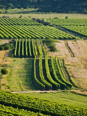 vineyard plain: Green vineyards details in Croatia, Europe. Summer time sunset