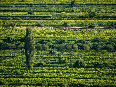 vineyard plain: Single tree in green vineyards, Croatia, Europe. Summer time sunset