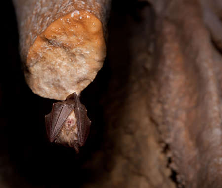 Bat on stalactite sleeping in the dark inside the cave. Stock Photo