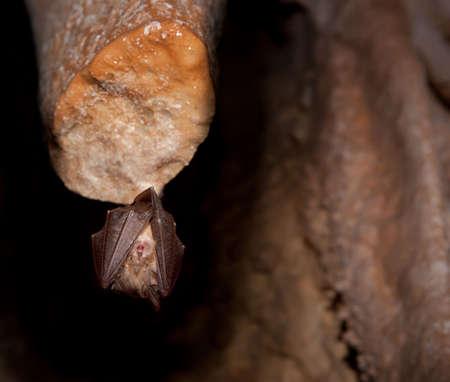speleology: Bat on stalactite sleeping in the dark inside the cave. Stock Photo