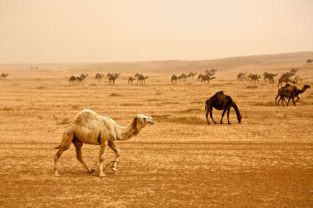 syria: Bedouin herd of camels near Rasafa. Male camel in front. Sand storm rising panorama. Stock Photo