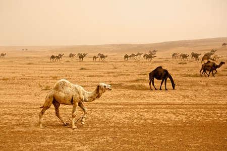 syria: Bedouin Herde von Kamele in der N�he von Rasafa. M�nnliche Kamel im Vordergrund. Sand Sturm steigen Panorama.