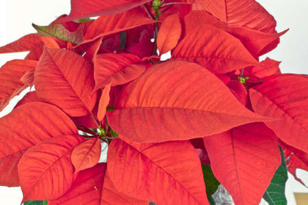 pulcherrima: Euphorbia pulcherrima, commonly known as poinsettia or noche buena or Christmas star in tradition