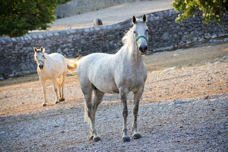 Lipizzan horse stare to the camera. World known horse breed from Croatia and Slovenia photo