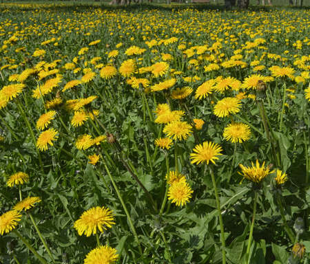 Dandelion flowers in the field. photo