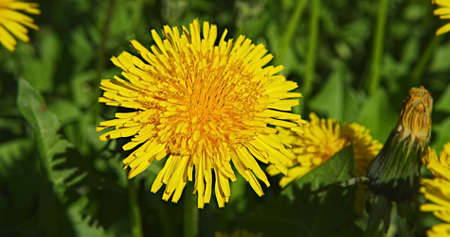Dandelion flower in the field. Stock Photo - 13185168