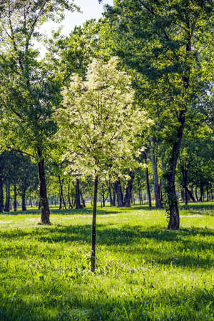 Sapling in the park, Zagreb capital of Croatia  Spring  or summer  snow in the air - from Populus tremula tree photo