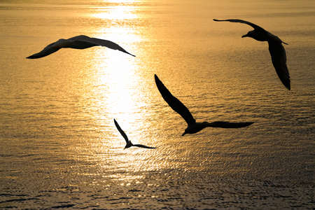 Seagulls flying positions on sunset. Stock Photo