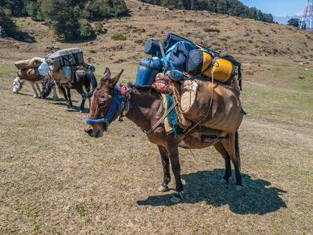 Laden mules in Himalaya somewhere in Uttarakhand, India. Stock Photo - 21124743