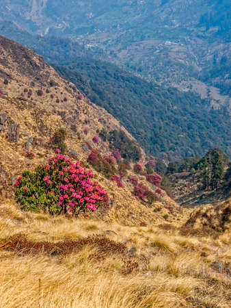 tallness: Burans flower Rhododendron arboretum a cultural flower of the Himalayas region and a national flower of Nepal are used to make flower juice and wine.