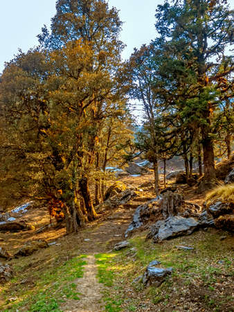 tallness: Trekking path trough old trees in Himalayan mountains. Stock Photo