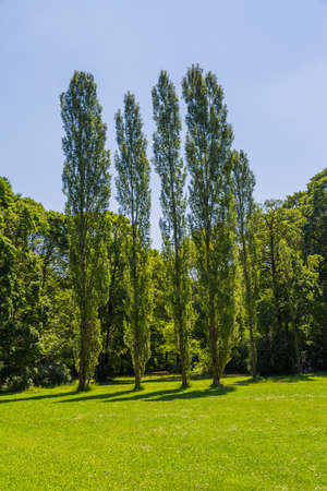english famous: Beautiful sunny view of the poplar trees in the English garden famous city park in Munich. Stock Photo
