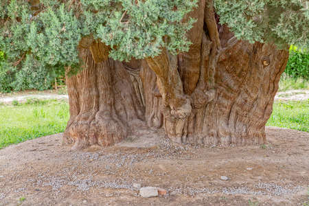 oldest: Old cedar tree in Abarghu is listed as one of the oldest trees in the world.