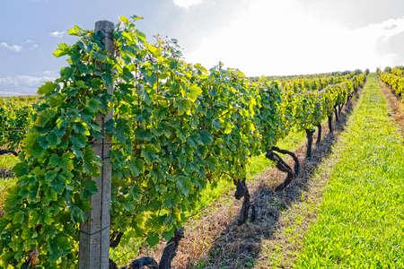 Vineyard at sunny day Standard-Bild