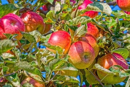 Manzano en otoño